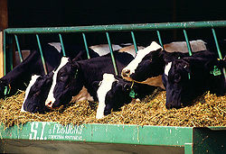 Holstein Cows file photo