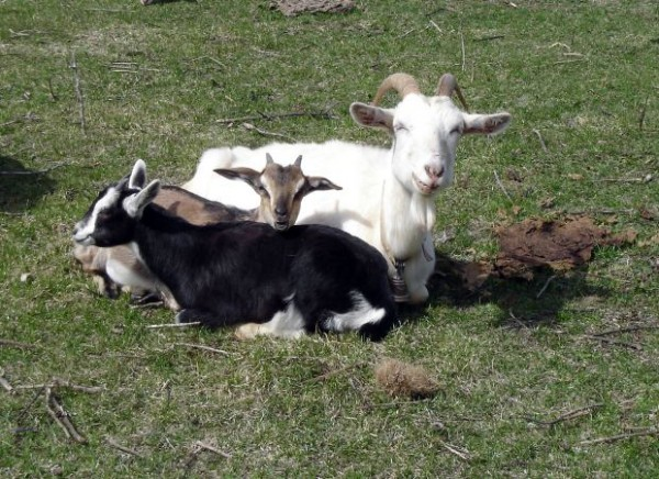 Working To Boost Goat Sector Productivity/Profitability