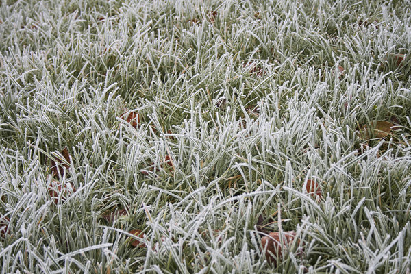 Frost covered grass.