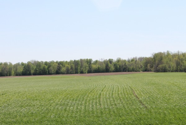 Winter wheat in the spring.