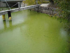 Blue green algae. June 11 2013. (BlackburnNews.com file photo)