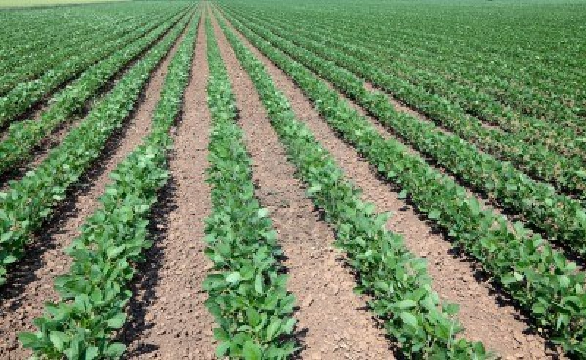 Young soybean field
