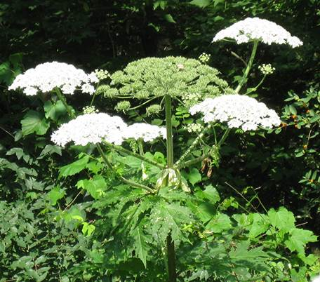 Giant Hogweed  Photo Submitted by Lower Thames Valley Conservation Authority.