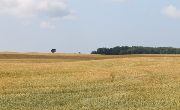 Wheat field - maturing