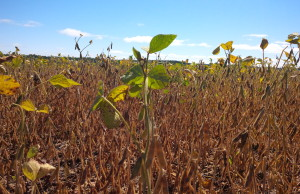 Soybeans - Ripening