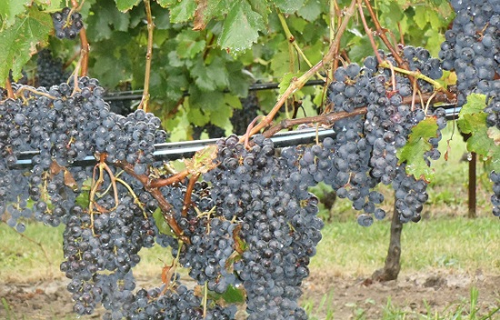 Red grapes on vine - wine production