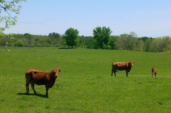 Beef cattle grazing in Huron County. (Photo by Ray Baynton)