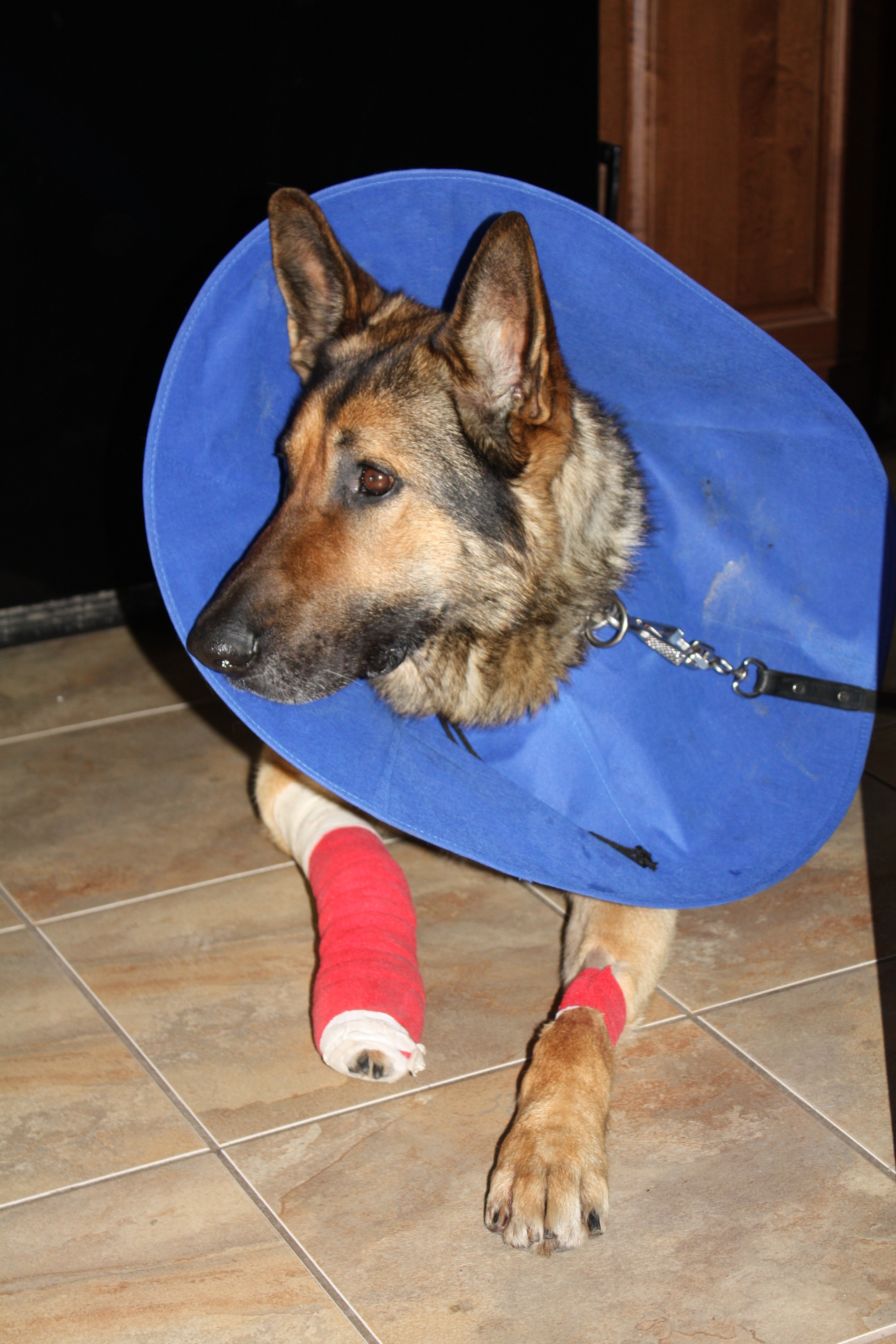 police service dog Bosco recovering from his injury