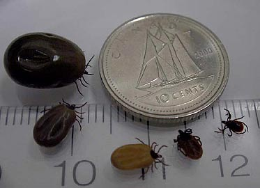 Female blacklegged ticks in various stages of feeding. Note the change in size and colour. Photo courtesy of http://www.phac-aspc.gc.ca/