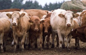Beef Cows And Calves