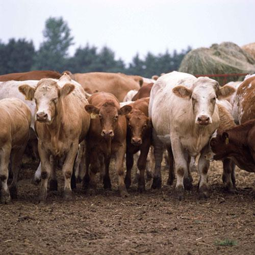 Ontario Replacement Cattle Prices Levelled Off Last Week