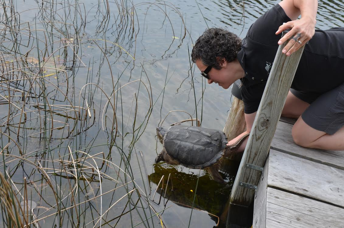 Kawartha Turtle Trauma Centre volunteer Kate Siena releasing Porter, the headline-making Port Franks turtle, back into his local waters after a year in Peterborough where the adult male Snapping Turtle was recovering and rehabilitating after a near-fatal encounter, one year ago, with a car.