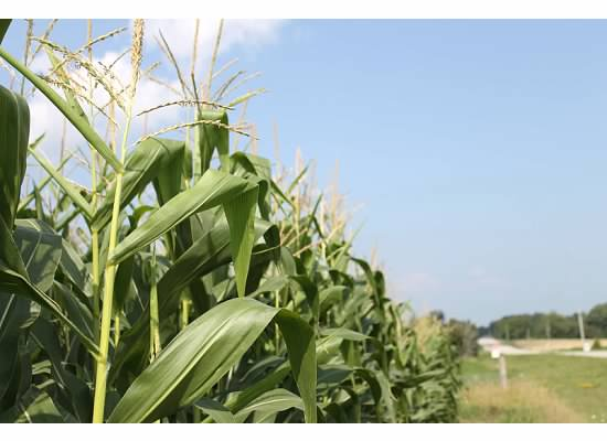GFO: Market Has Message For Corn Growers