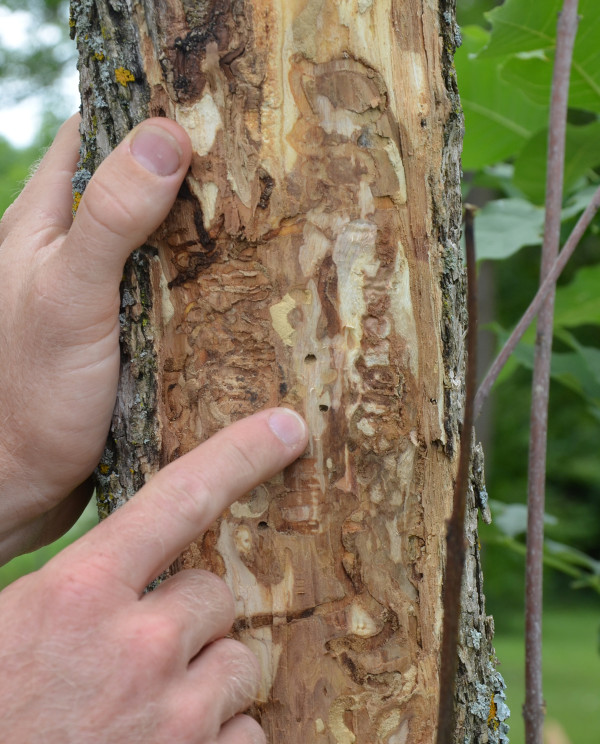 Ian Jean, Forestry and Land Stewardship Specialist with Ausable Bayfield Conservation Authority (ABCA) points out exit holes on an Ash Tree, indicating the invasive Emerald Ash Borer has infested this tree (Photo courtesy of ABCA)