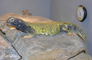 grey and green lizard called a uromastyx