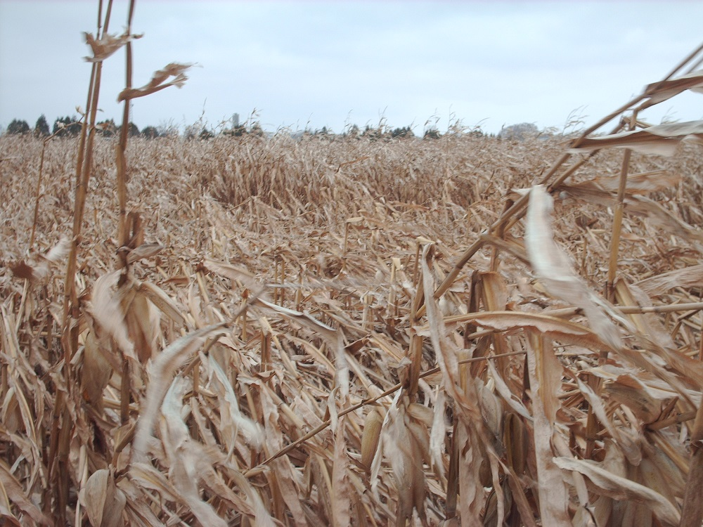 High winds damage corn fields in Chatham-Kent. (Photo by Simon Crouch)