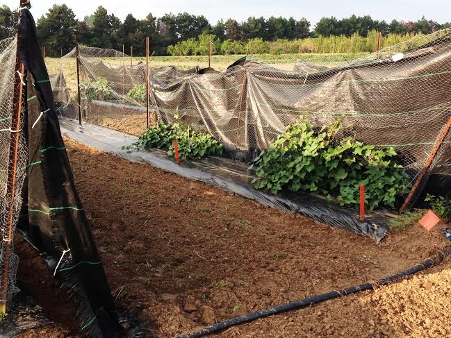 Sweet Potato test plots. (Photo courtesy of Lilian Schaer)