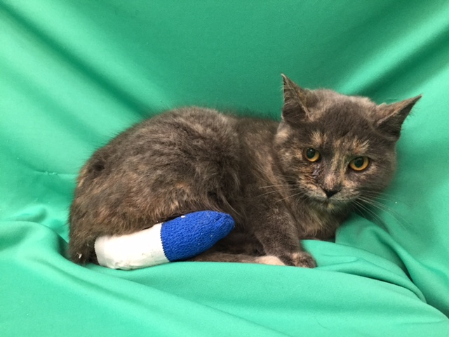 The Windsor-Essex County Humane Society is investigating after a cat was found with a zip tie on its tail, causing a serious wound. (Photo courtesy Windsor-Essex County Humane Society)