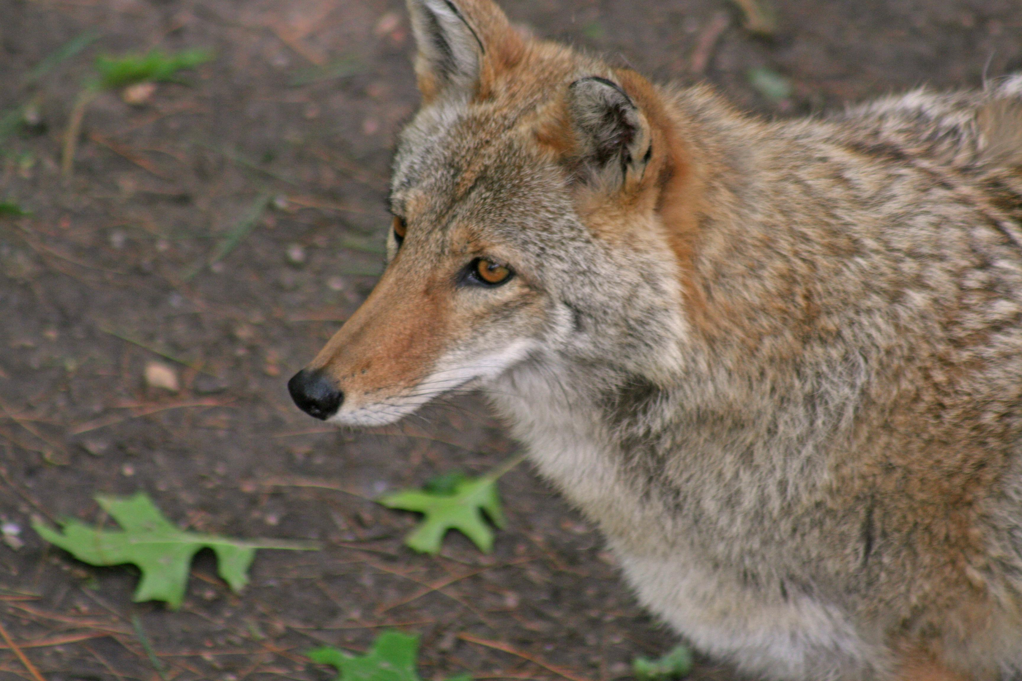 coyote photo from morguefile.com
