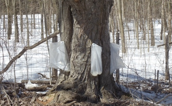 Syrup Producer Says Season Not Up To Par