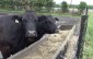 Cattle on a Chatham-Kent area farm. (BlackburnNews.com file photo by Simon Crouch)