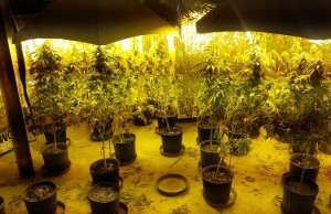 Marijuana plants seized from a home on St. Clair Cr. Photo from London police.