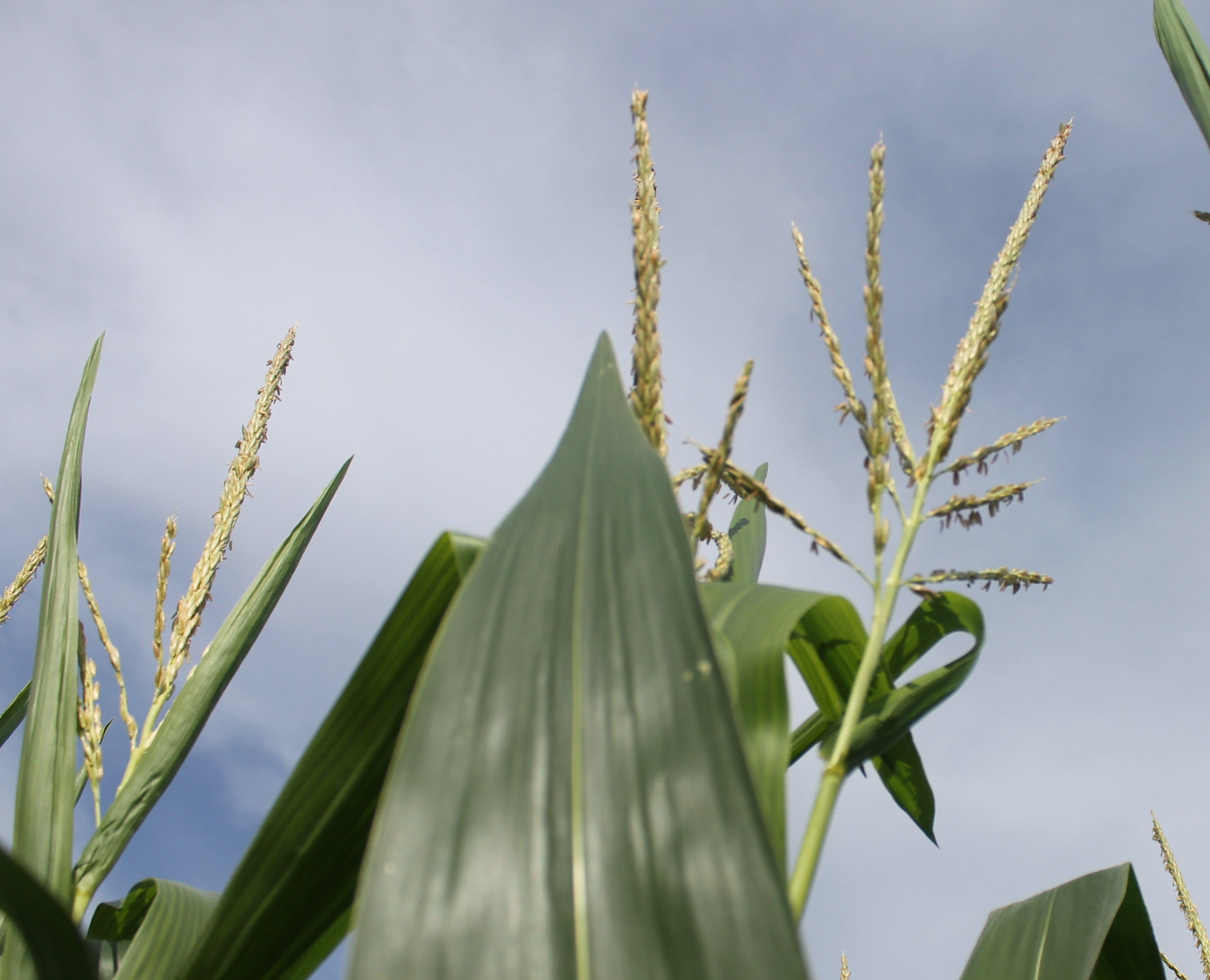 Little Change In Condition Of U-S Corn, Soybeans, Spring Wheat