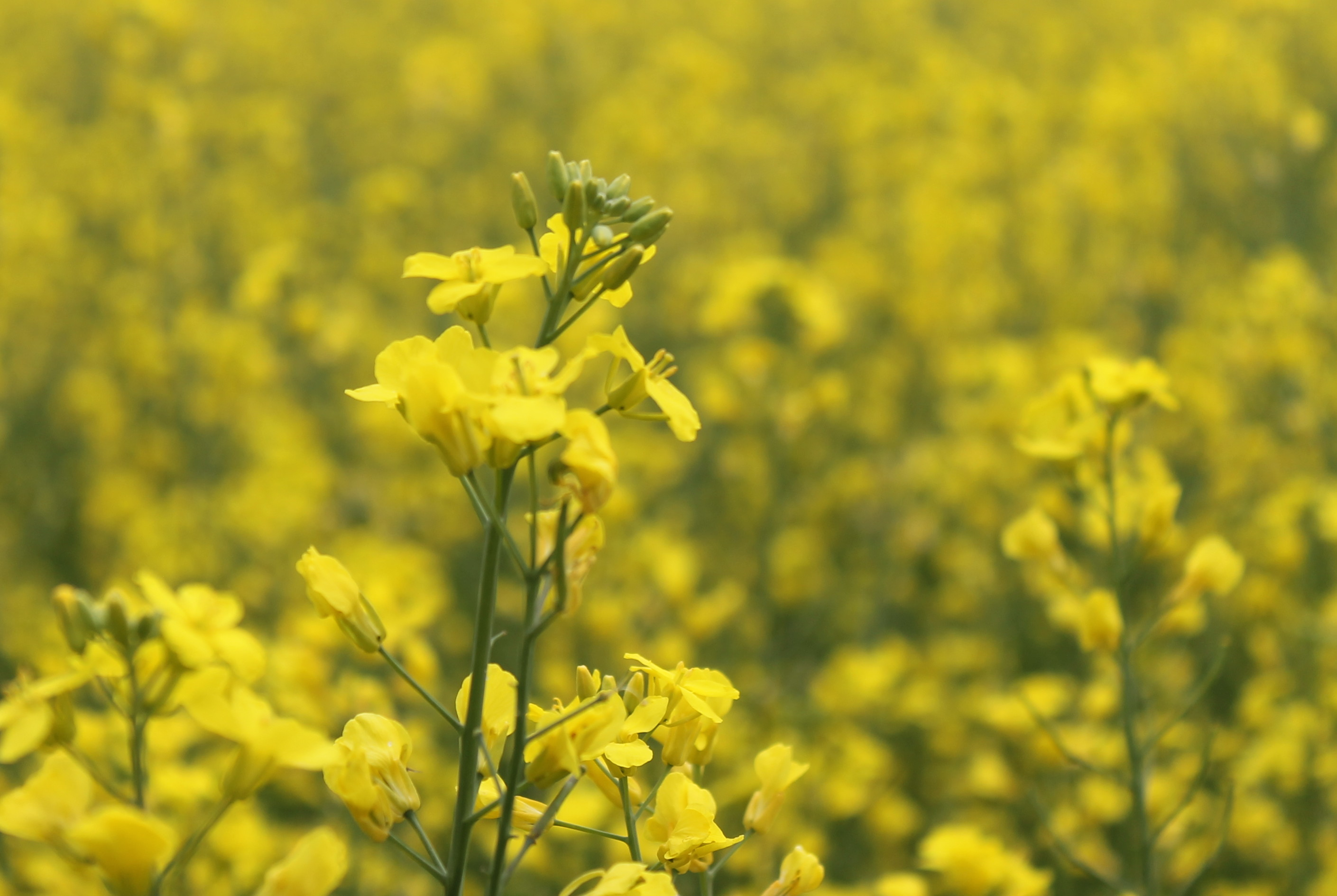 Investing In Canola