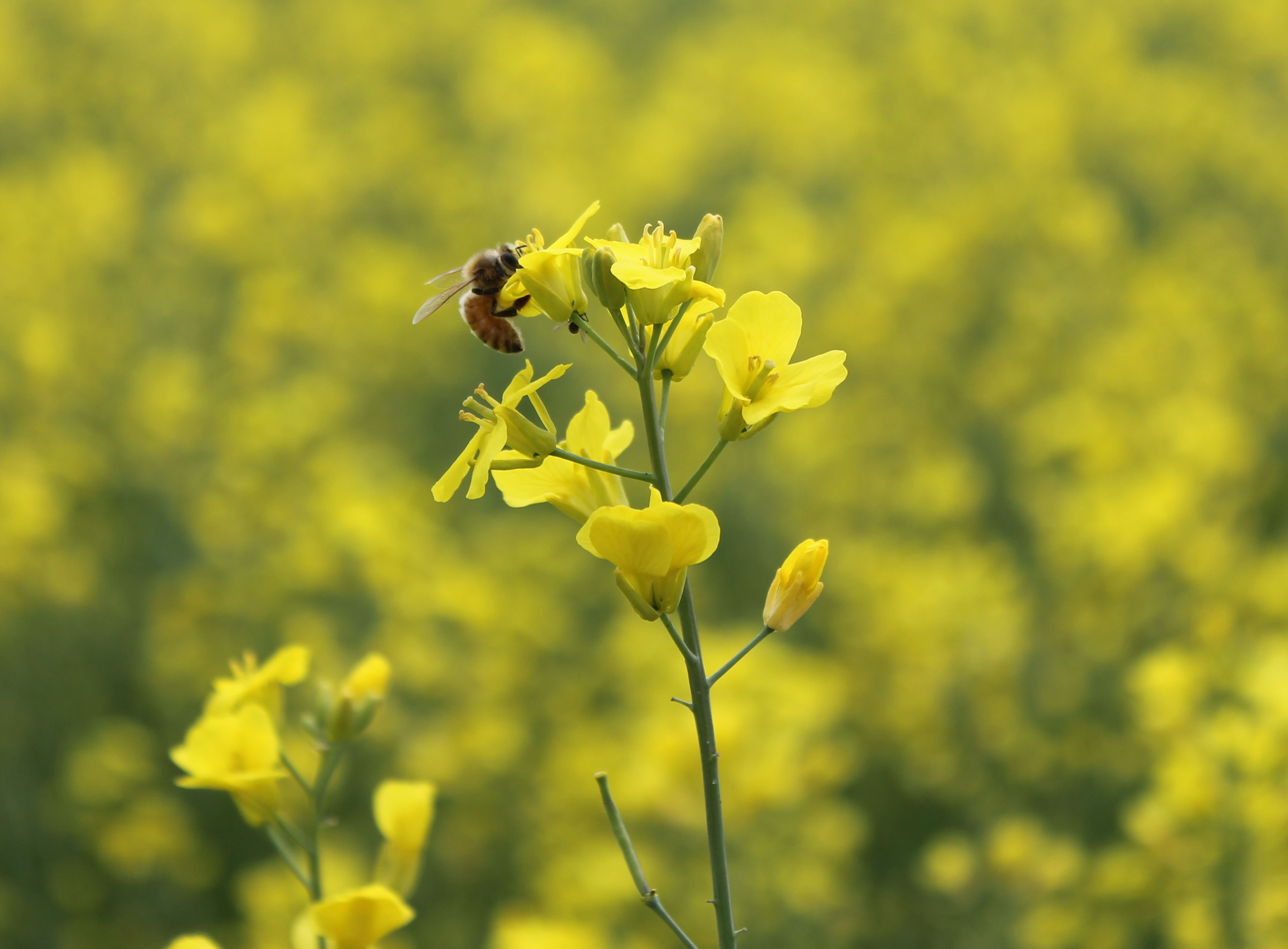Canola - Early July - Bee