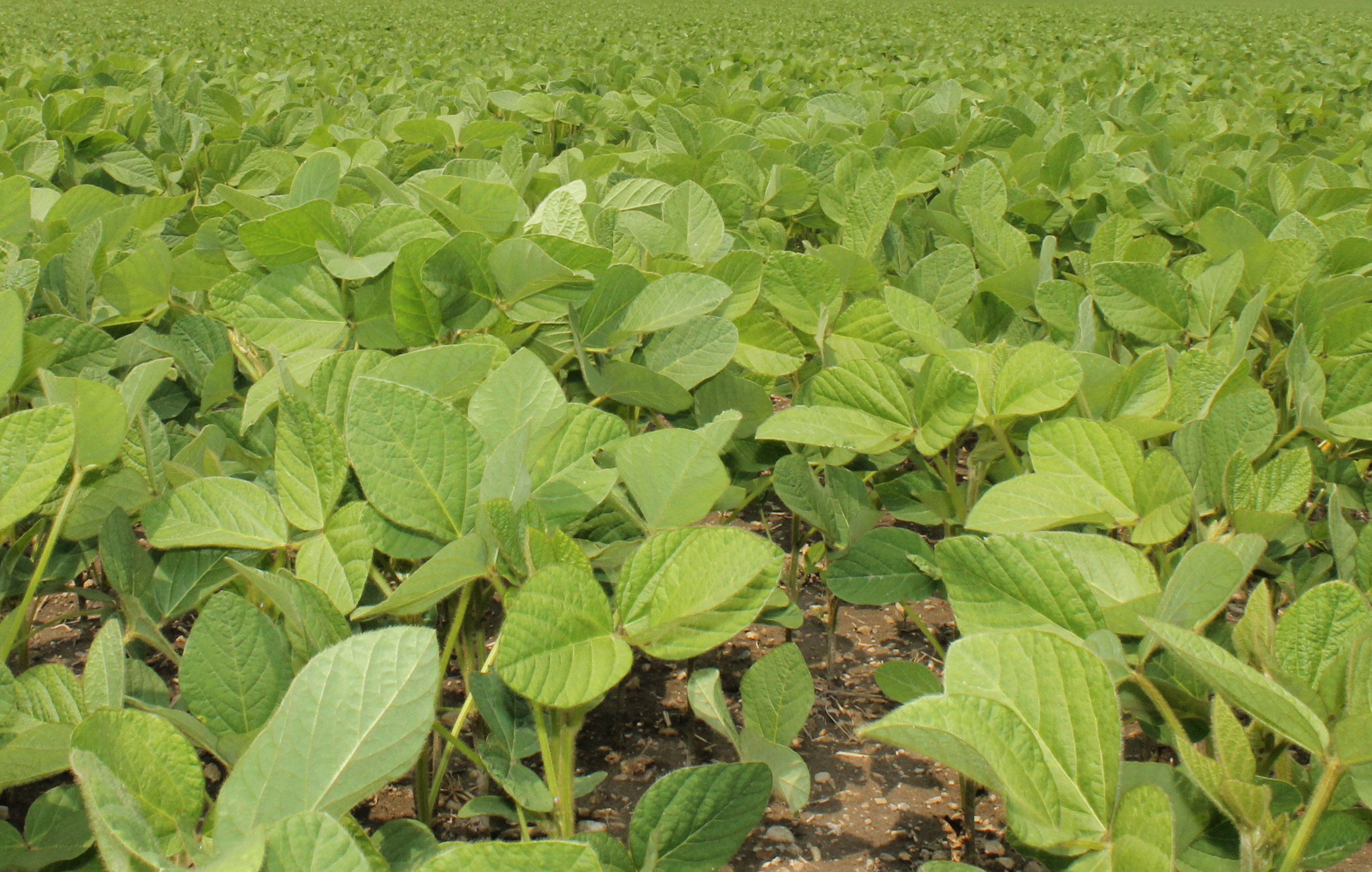Soybeans - Early July