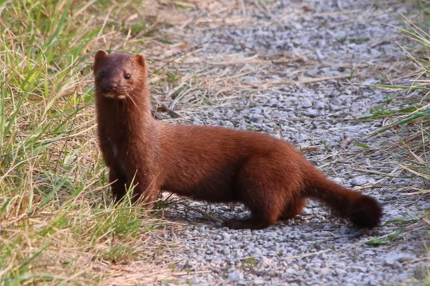 300 Minks Released At Guelph Farm