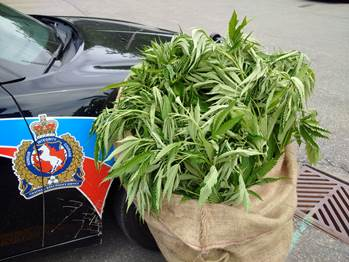 Marijuana plants seized from a field in Chatham-Kent on Aug. 6, 2015 (Photo courtesy of Chatham-Kent Police)