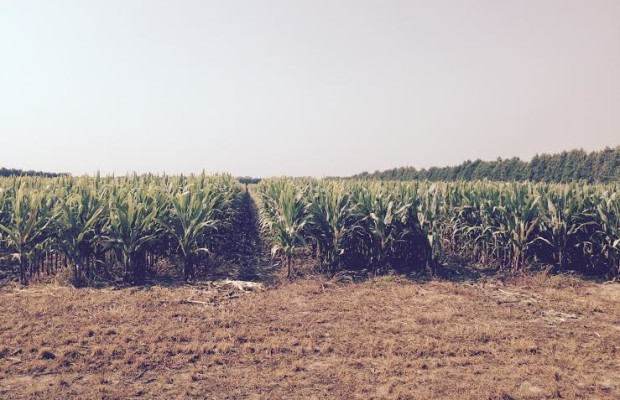 Seed Corn field near Chatham Aug 31, 2015. (Photo by Simon Crouch)