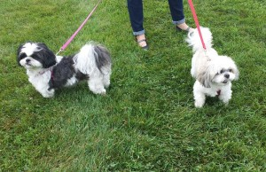 Two of the four legged participants in the SPCA Walk for Life Sept. 19, 2015. (Photo courtesy OSPCA Kent Branch via Facebook)