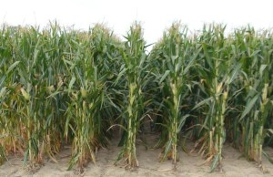 A field of corn in Chatham-Kent (File photo by Simon Crouch)