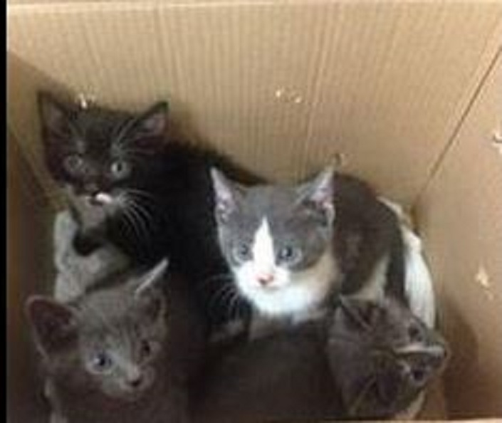Photo of four of the seven kittens left near a Goodwill donation bin in London. Courtesy of the London Humane Society.