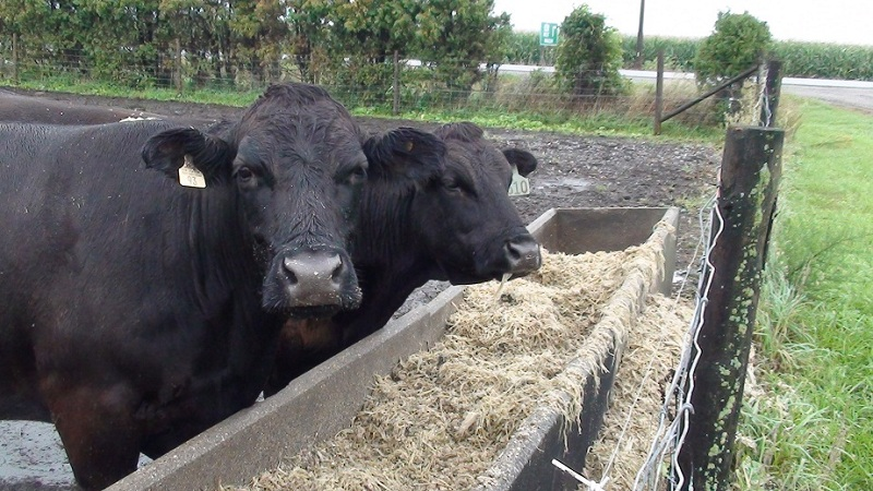 Beef Cattle on a Chatham-Kent farm. (File photo by Simon Crouch)