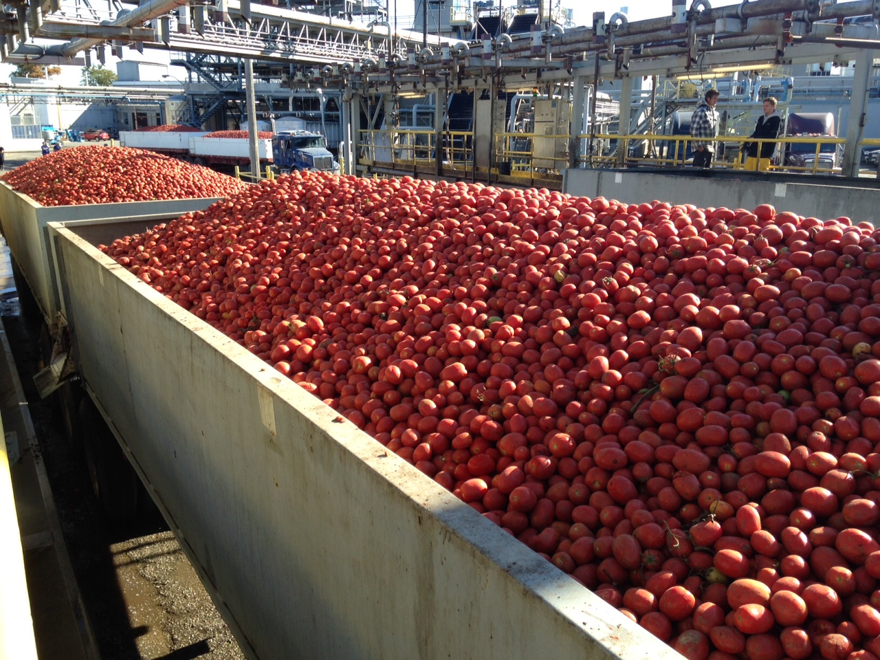 Tomatoes at Highbury Canco ready to be processed. (BlackburnNews photo)