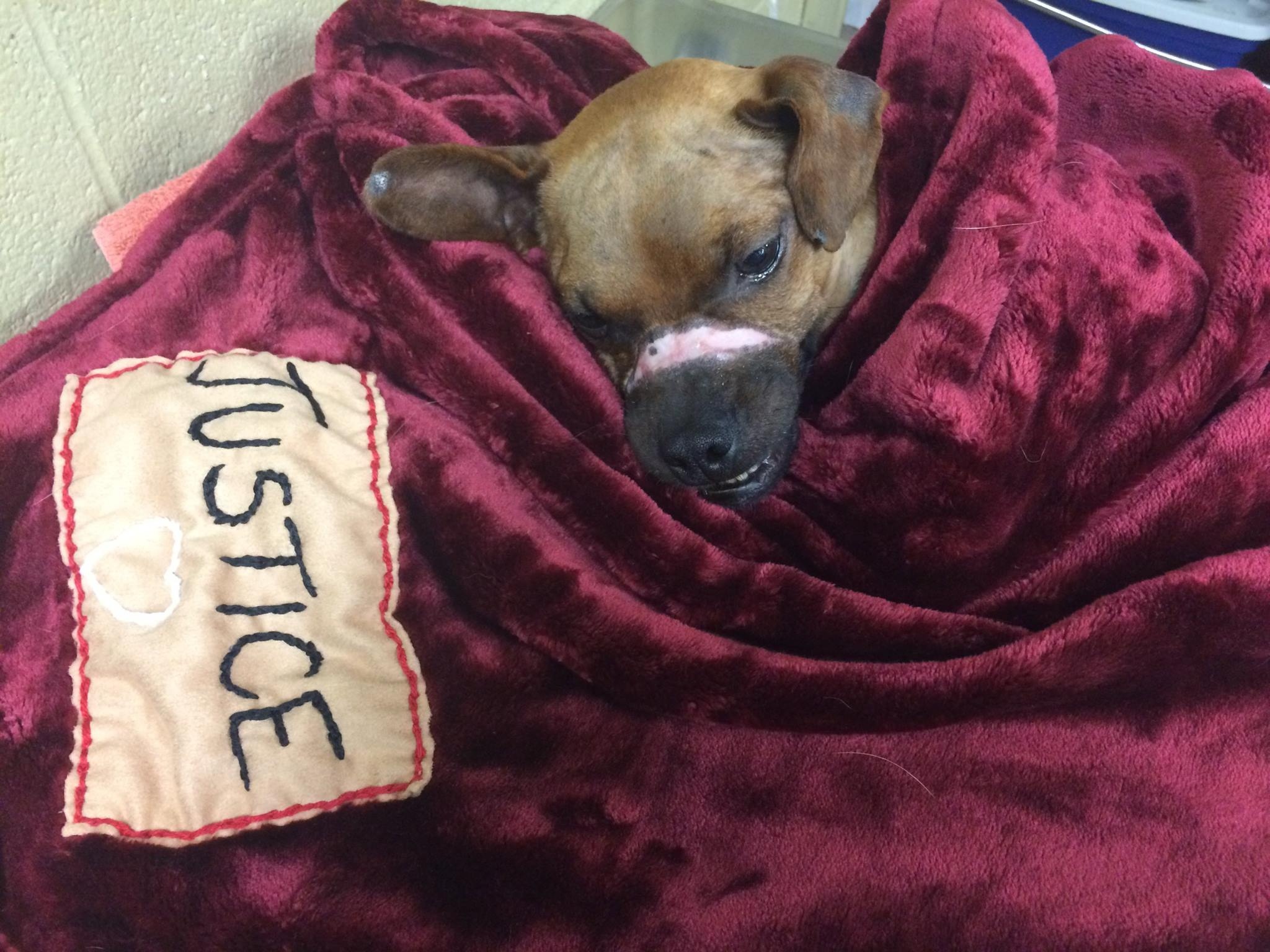 Justice following his neuter surgery. (Photo courtesy Windsor/Essex County Humane Society)