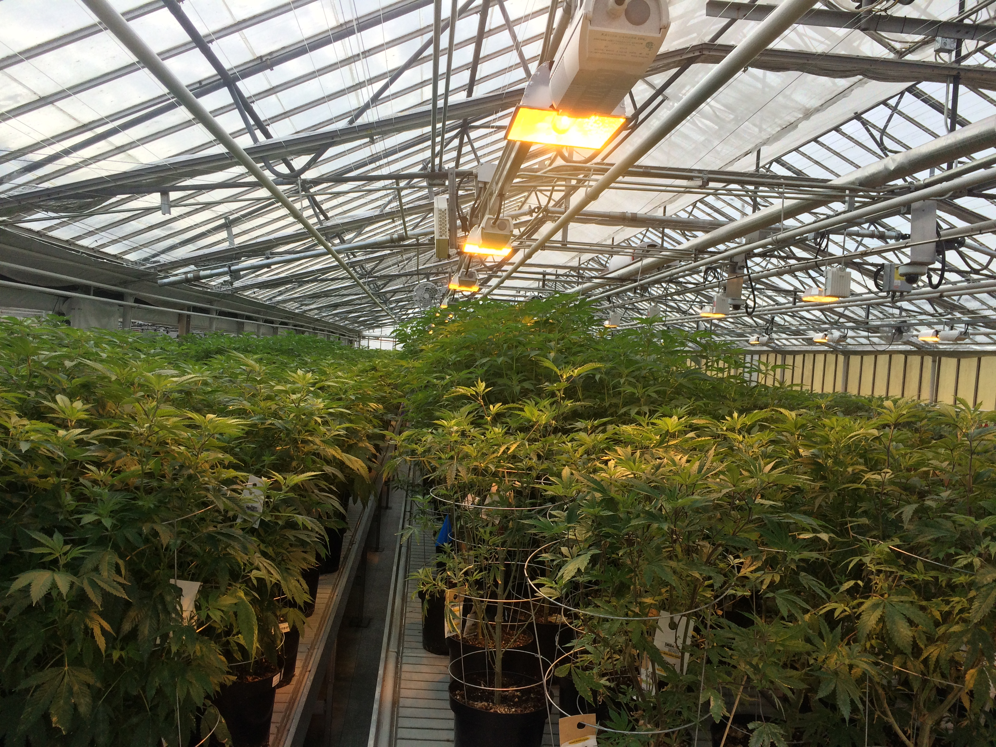 Medical marijuana plants seen at Aphria's Leamington greenhouses on February 19, 2016. (Photo by Ricardo Veneza)