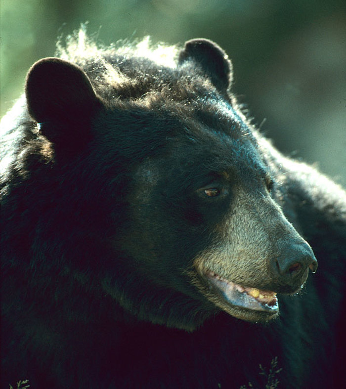 File photo of a Black Bear.  Photo courtesy of MNR