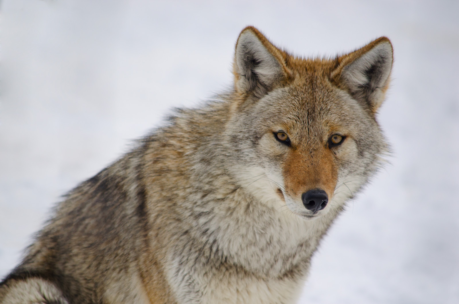 Photo of coyote courtesy of © Can Stock Photo Inc. / marcbruxelle