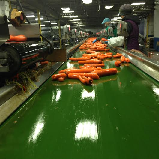 Carrot Packing Line March 24, 2016