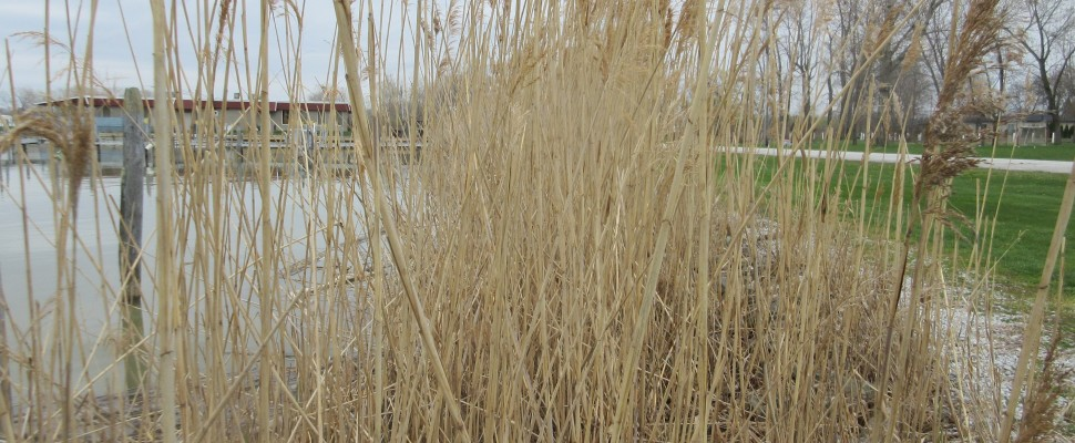 Phragmites on waterfront property. April 29, 2016. (Photo by Simon Crouch)