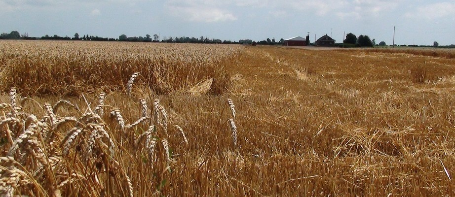 Wheat Field near Chatham July 11, 2011. (Photo by Simon Crouch)