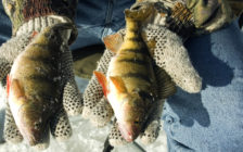 BlackburnNews.com file photo of yellow perch. (Photo courtesy © Can Stock Photo Inc. / dcwcreations)