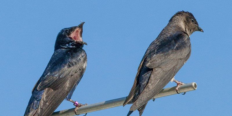 (Photo courtesy Purple Martin Conservation Association)