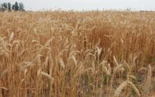 A field of wheat in Chatham-Kent. July 6, 2016. (Photo by Simon Crouch)
