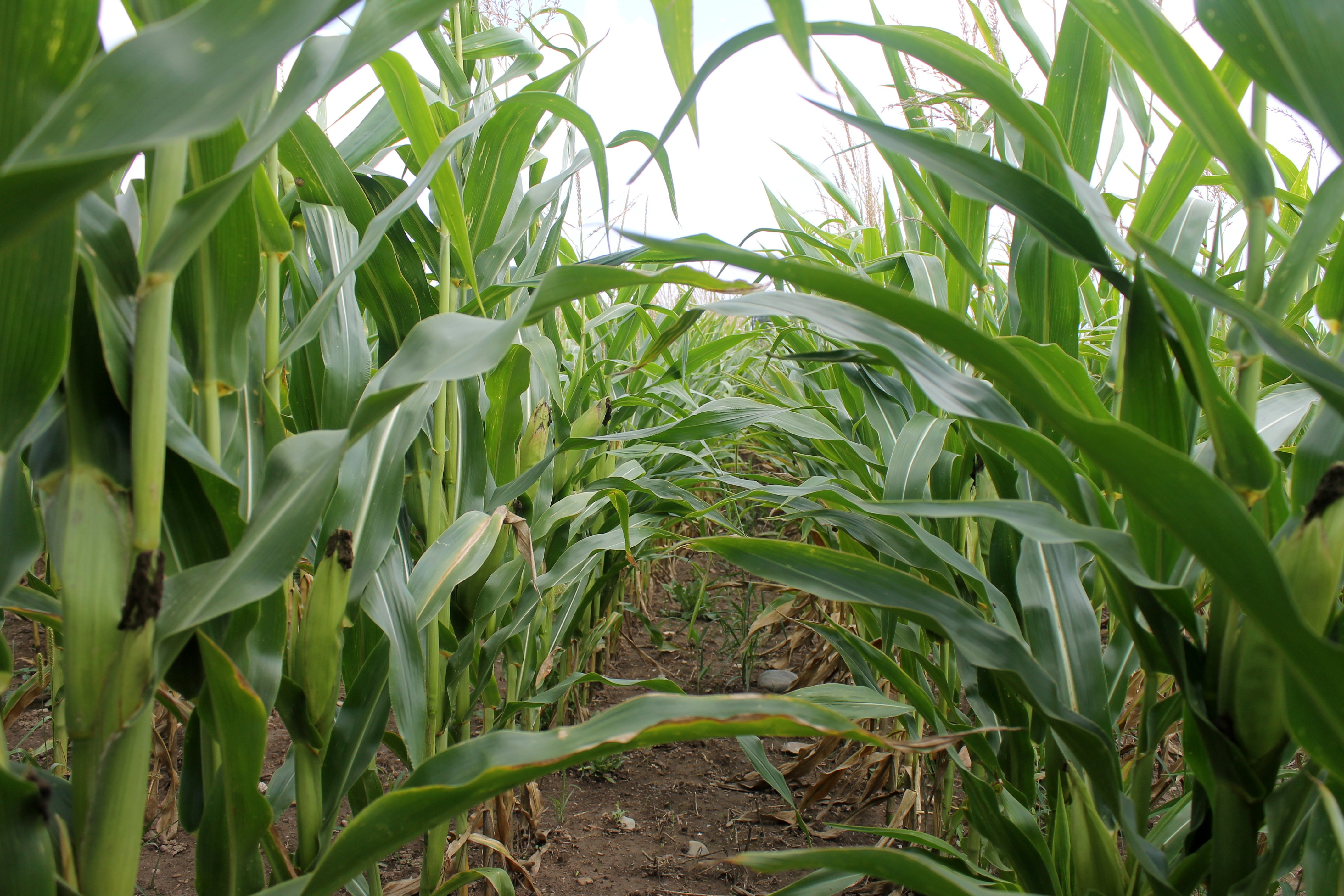 Hot, Dry Weather Affects Corn Yields