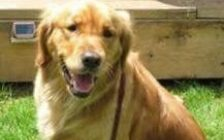 Sasha, Golden Retriever, went missing in Harrow Thanksgiving weekend. (Photo courtesy OPP)